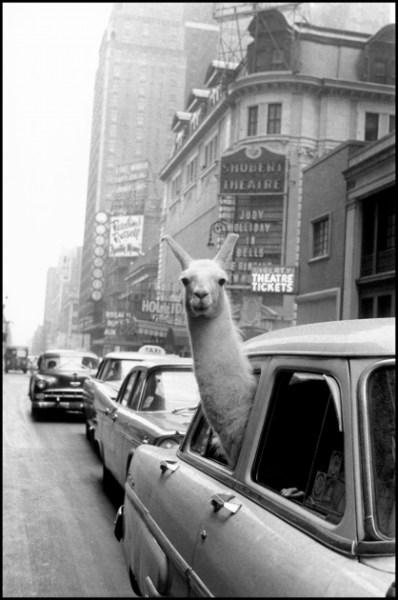 Una llama en Times Square, Nueva York, EE.UU., 1957 © Inge Morath © The Inge Morath Foundation / Magnum Photos