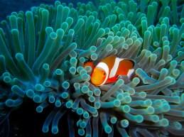 clownsfish