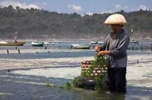 Seaweed_farming_-Nusa_Lembongan,_Bali-16Aug2009_edit