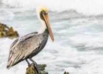 Pelicanos que ficavam nas pedras