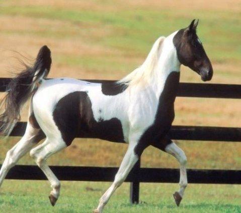 اجمل الصور للخيول العربية الاصيلة , الخيول العربية الأصيلة بالصور
