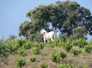 Arando con mula