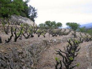 Viñas en bancales de Vinyes Domènech