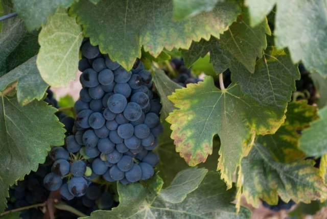 Uvas tintas de Frolong