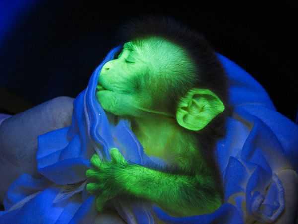 rhesus-monkey-glowing-animals_11831_600x450