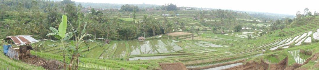 Arrozales- Bali