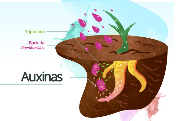 auxinas beneficio plantas