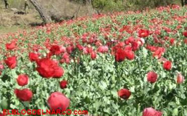 Buscan legalizar cultivo de amapola en Guerrero