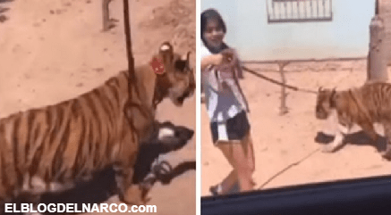 """""""¡No muerde!"""", niña pasea un tigre de bengala como si nada en Sinaloa, """"A ver el pinch... perro ese"""""""