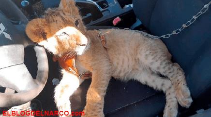 Destruyen campamento del narco en Michoacán, decomisan un cachorro de león