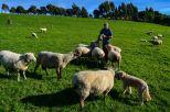 feeding friendly sheeps