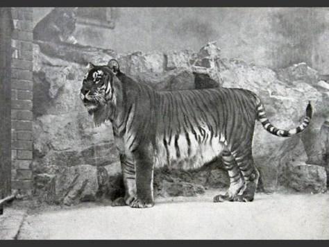 las-fotos-de-10-animales-que-ya-se-han-extinguido-tigre-caspian