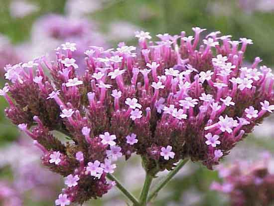 Ejemplar de Verbena bonariensis
