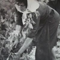 Vendimias - Fotos antiguas - Elciego