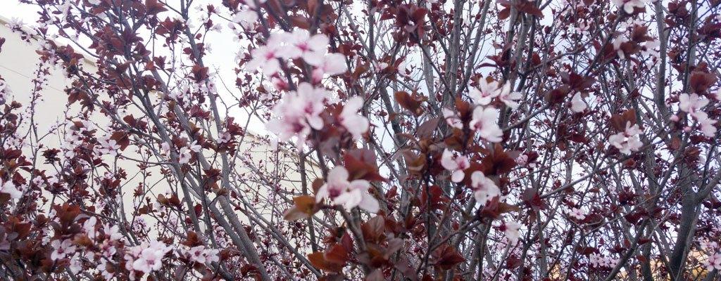 Cherry Blossom del Chuco