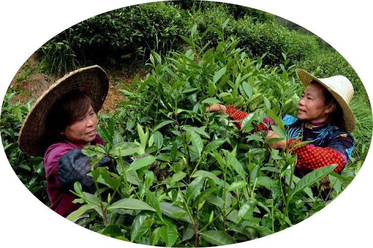 La cosecha del té celebrando el día internacional del té