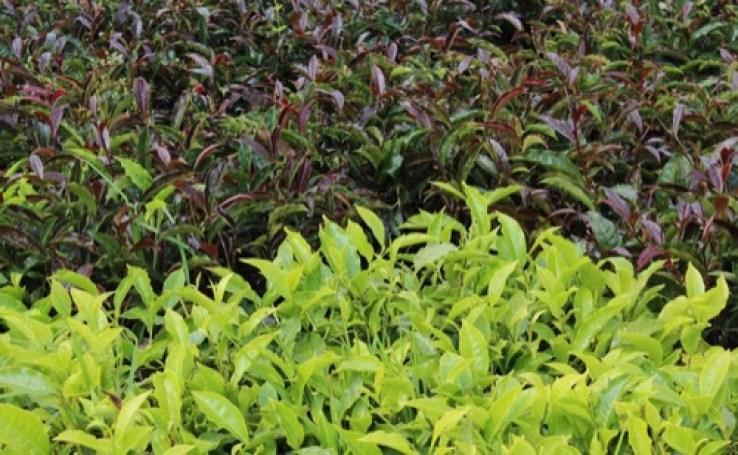 Hojas de té morado o purple tea