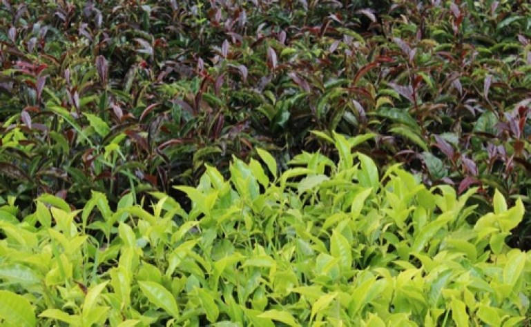 hojas de purple tea - té morado