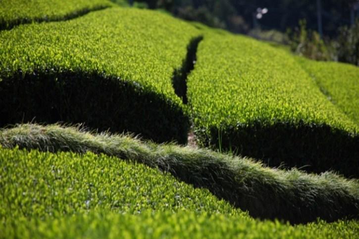 Fukamushi cha: produção de chá verde