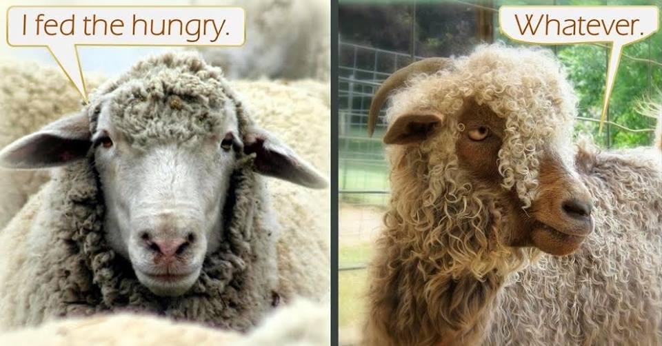 sheep goats