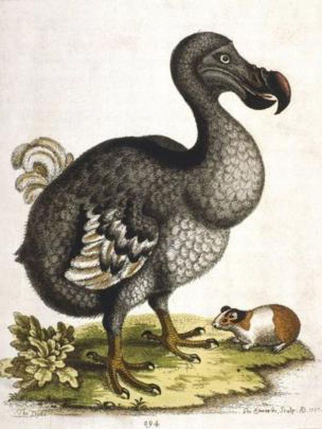 El dodo se convirtió en un símbolo de la extinción causada por humanos. (GETTY IMAGES)