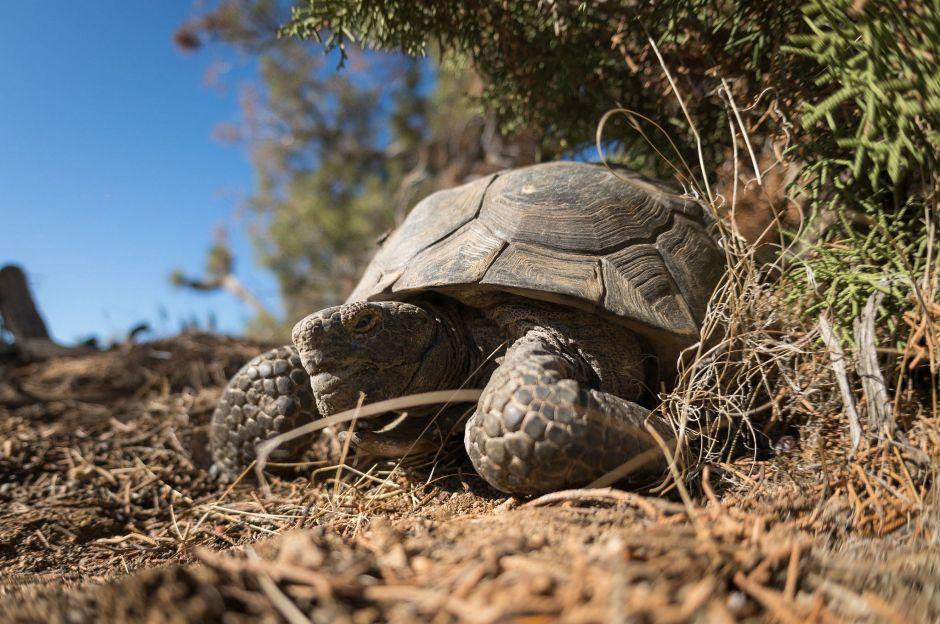 Una tortuga del desierto de Mojave