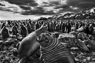 Sebastiao-Salgado-focas
