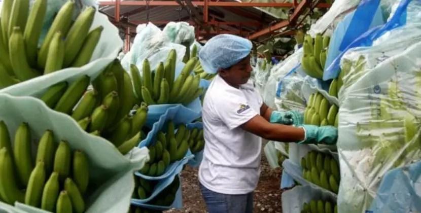 Trabajadoras laboran en el empaque de bananos.