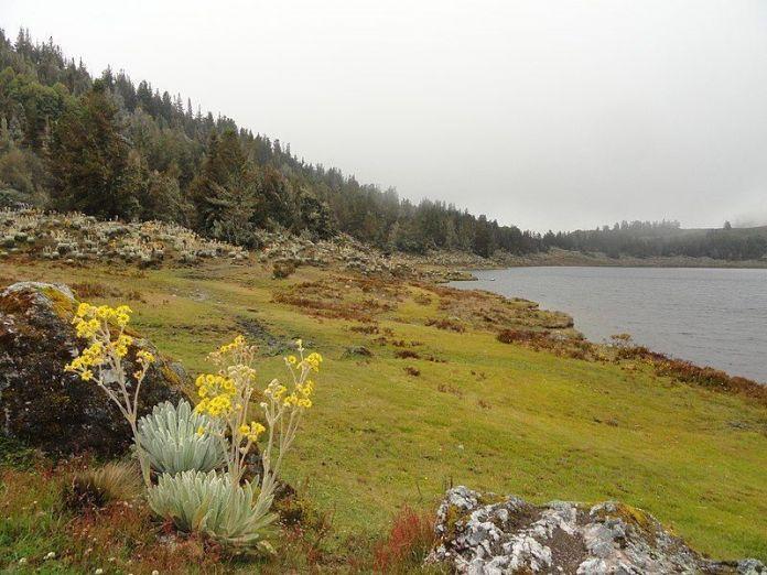 Frailejones junto a la Laguna de Mucubají
