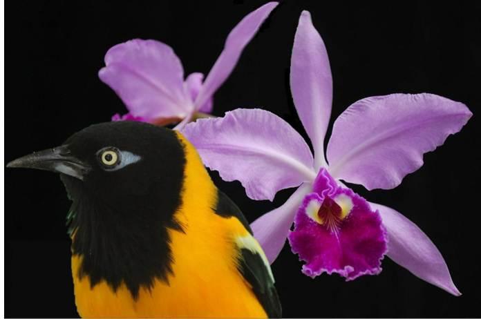 La orquídea y el turpial