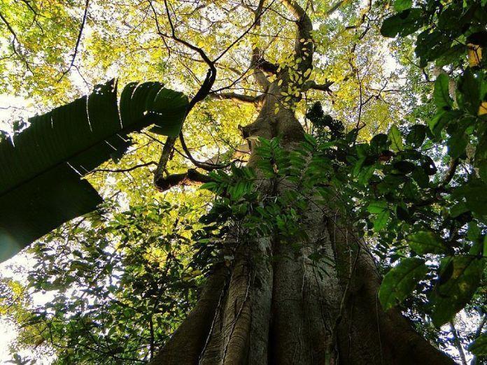 Cucharo, árbol endémico del Parque Nacional Henri Pittier
