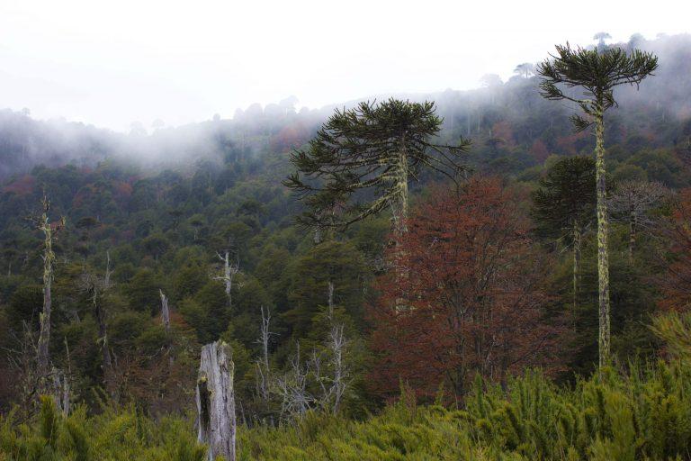 Malalcahuello, el último paisaje prehistórico.