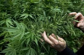 Nueva Jurisprudencia permite el auto cultivo de marihuana en Chile