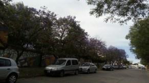 Jacarandas de la ciudad 5