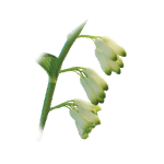 polygonatum-officinale-root-extract1