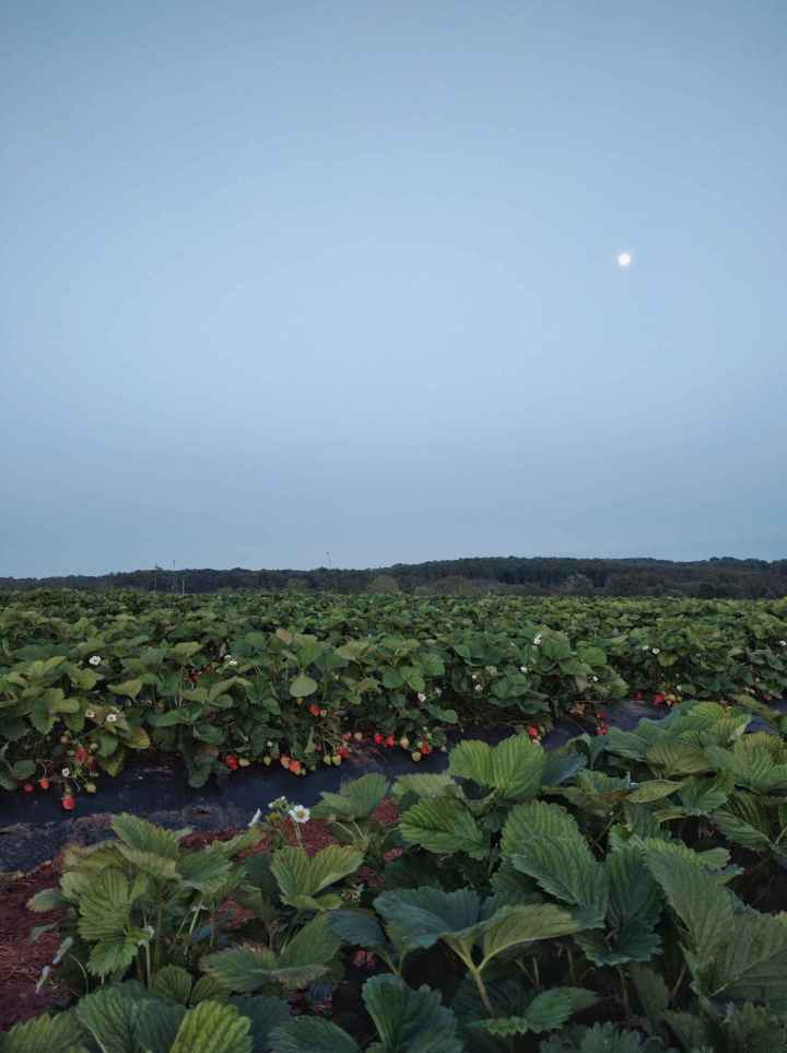 The Moon over the Strawberries - Nothing to do with this post.
