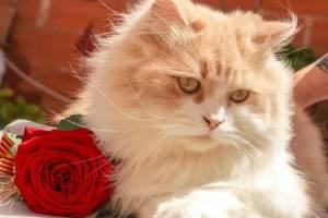 rose et chat