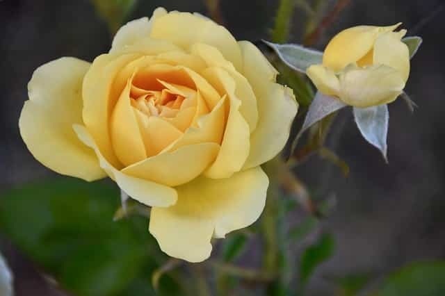 engrais rose