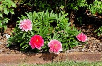 Pivoine et Langage Secret des Fleurs