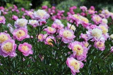 Pivoine : En Quelle Saison Elle Fleurit ?
