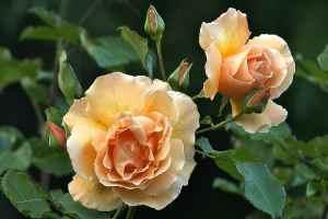Top 10 des Variétés Pour Roses Coupées (qui font la différence)