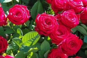 faire fleurir les rosiers