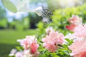 planter une pivoine