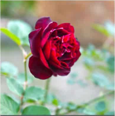 rose à l'ombre