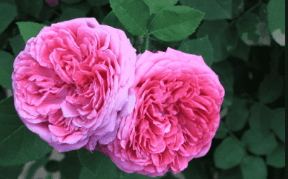 Roses : Une Histoire Incroyable Passionnantes