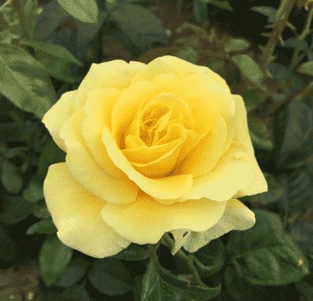 Liste des Noms de Roses de A à Z