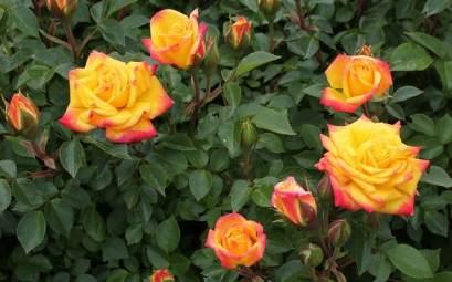 Rosier Miniature : Comment Le Planter et l'Entretenir