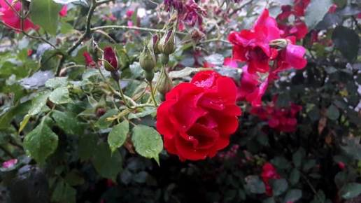 rose jardin sombre