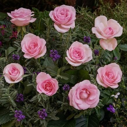 Plantes amies des rosiers