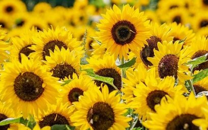 Top 25 des Plus Belles Fleurs Jaunes (Images)